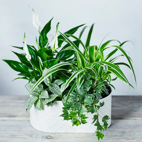Mixed Foliage Lily Planter -