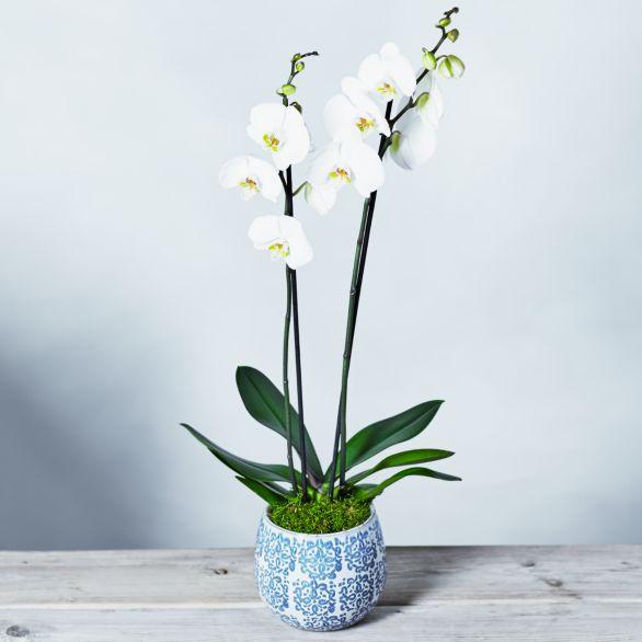 Premium Phalaenopsis Orchid White.