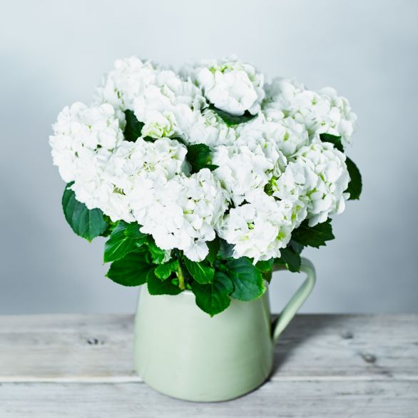 White Hydrangea Jug White