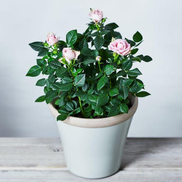 'Lovely Bride' British Rose Garden Planter Pink.