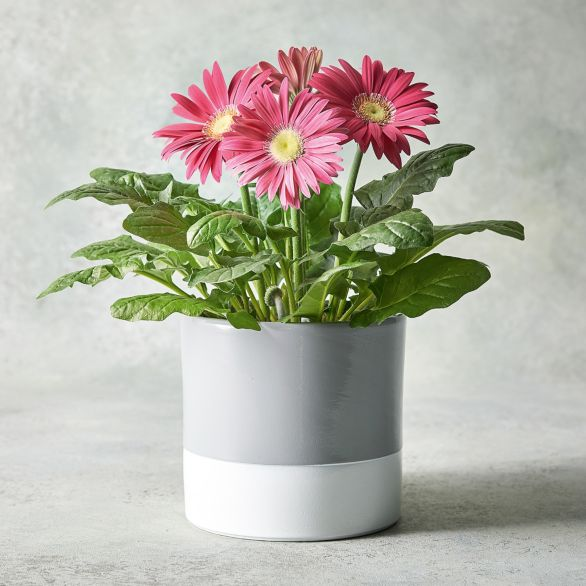 Orange Gerbera Planter Yellow or orange