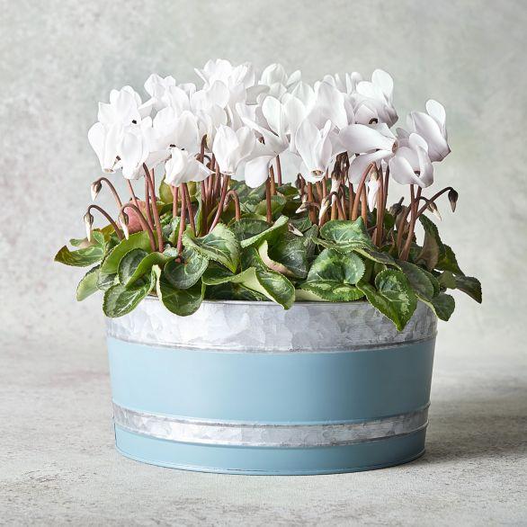 Vintage Cyclamen Garden Planter White.