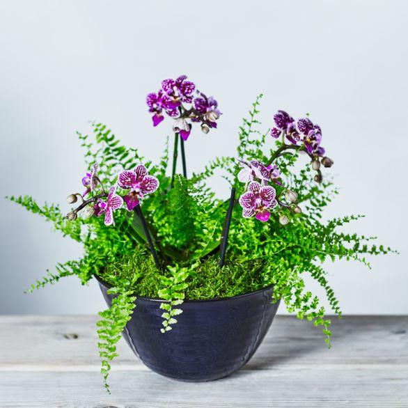 Double Twin Stem Orchid & Fern Planter Purple