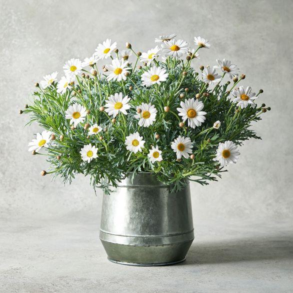 Marguerite Garden Planter White.