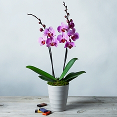 Twin Stem Phalaenopsis Orchid Gift Set