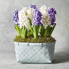 Large Scented British Hyacinths Bulbs Planter