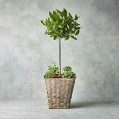 Luxury Potted Bay Tree & Herb Garden