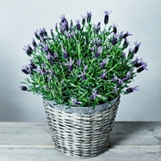 Large British Lavender Garden Planter