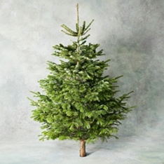 6ft British Nordmann Fir Christmas Tree