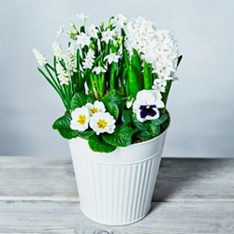 British White Spring Bulbs Garden Planter