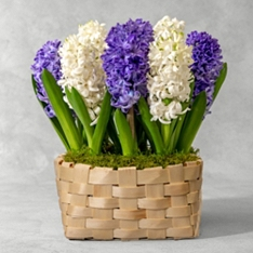 British White Scented Hyacinth Bulbs Bowl