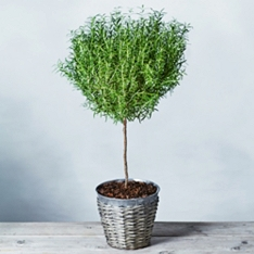 Potted Rosemary Tree