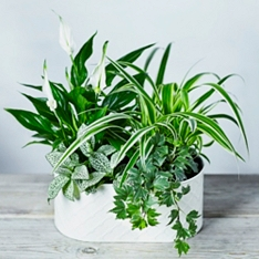 Mixed Foliage Lily Planter