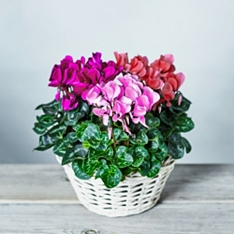 Pink Cyclamen Basket