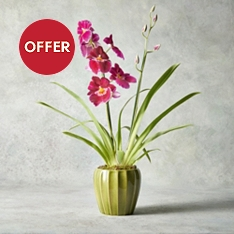 Miltonia Orchid Basket