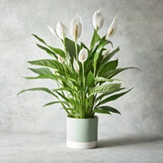 Giftwrapped Peace Lily Plant