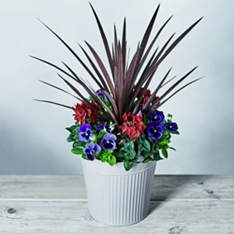 Large Cordyline Garden Planter