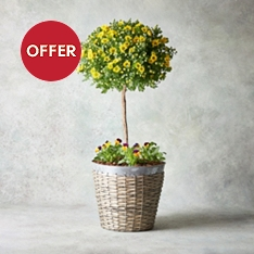 Luxury Potted Pomponette Tree