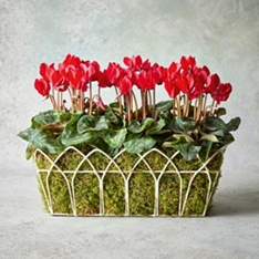 Vintage Red Cyclamen Garden Planter