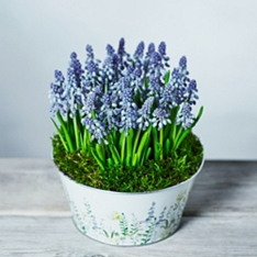 British Muscari Bulbs Bowl