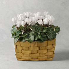 British White Cyclamen Basket