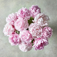 Scented British Peonies
