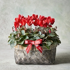 British Red Cyclamen Basket