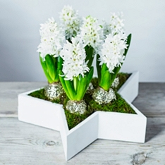British Scented White Hyacinths Star Planter