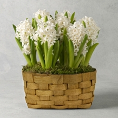 Large British Scented White Hyacinths Basket