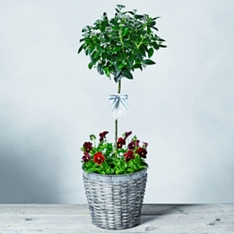 Luxury Potted Viburnum Tree