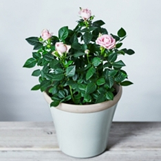 'Lovely Bride' British Rose Garden Planter