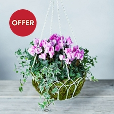 Vintage British Cyclamen Hanging Basket