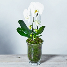 Cascade Phalaenopsis Orchid Planter