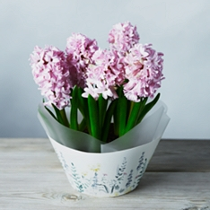 British Pink Scented Hyacinth Bulbs Bowl