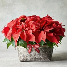 Large British Red Poinsettia Basket