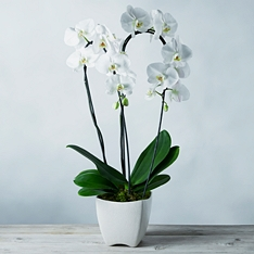 Double Cascade Phalaenopsis Orchid
