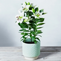Scented Lily Plant