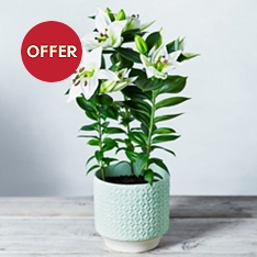 Scented Oriental Lily Planter