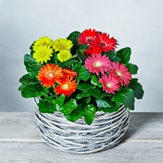 Large Gerbera Basket
