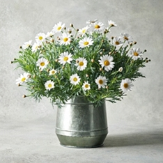 Large Marguerite Garden Planter