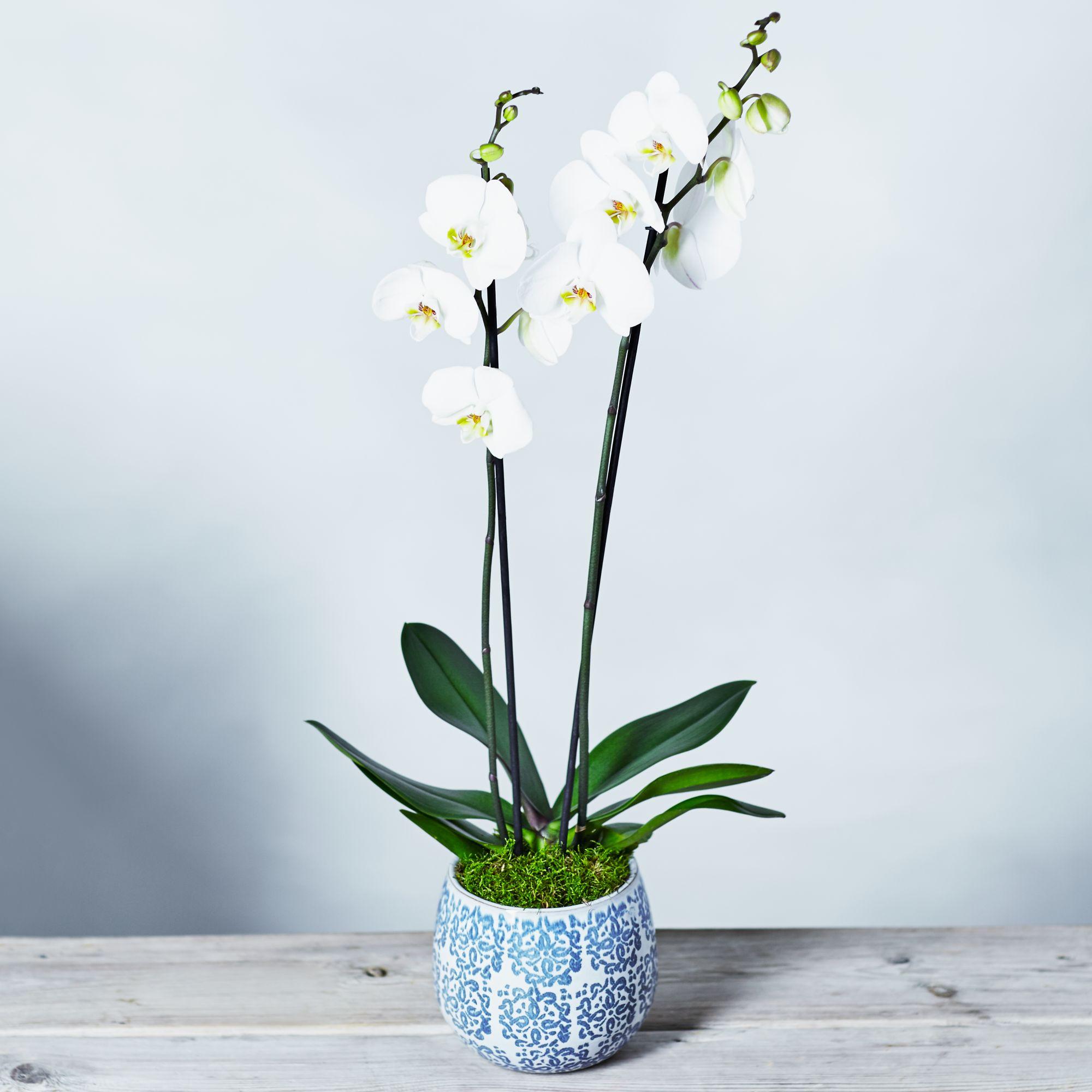 Image of Premium Phalaenopsis Orchid White