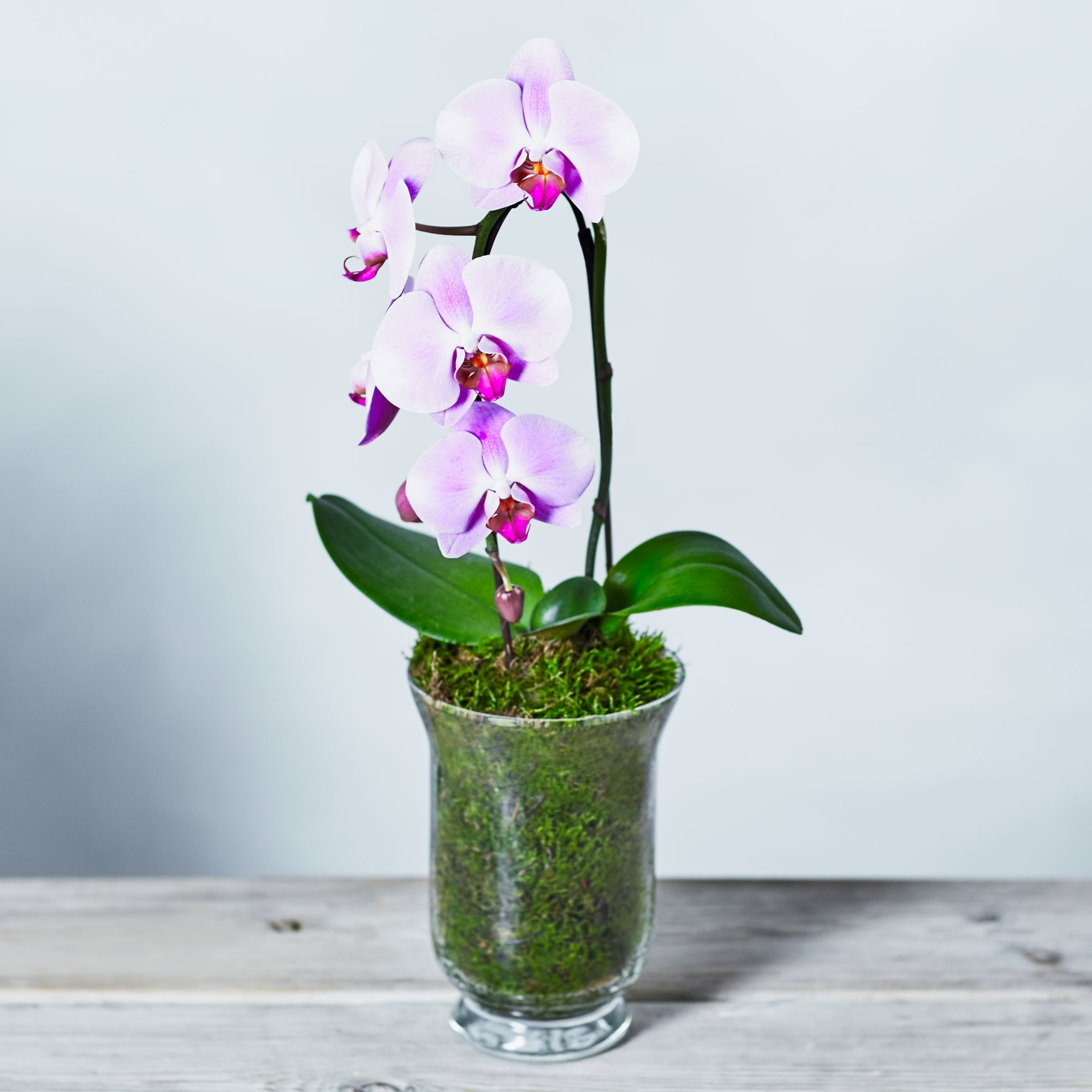 Image of Pink Cascade Phalaenopsis Orchid Pink