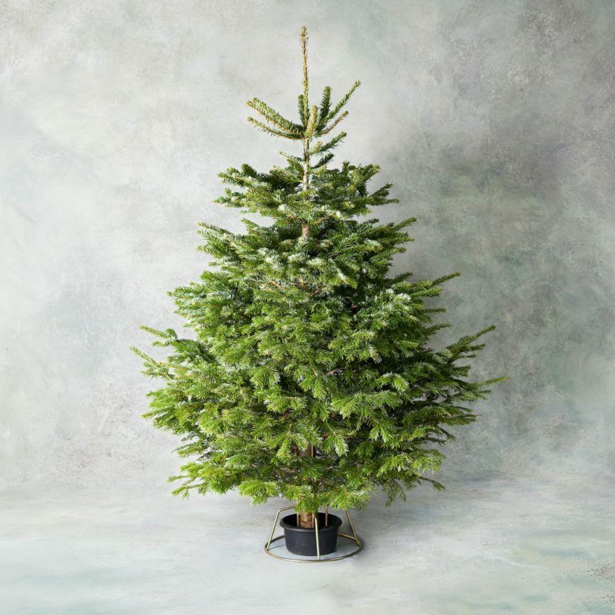 6ft British Nordmann Fir Christmas Tree in Stand | Waitrose Florist