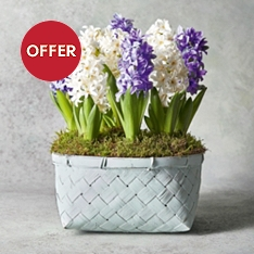 Large Mixed Hyacinth Basket