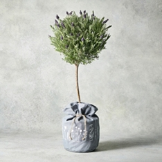 Flowering Lavender Tree In Hessian Bag