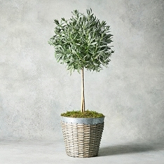 Potted Lavender Tree