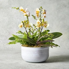 Two Twin Stem Orchids with Ferns Planter