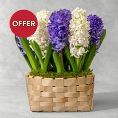 Flowering Hyacinth Basket