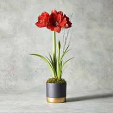 Christmas Red Amaryllis Planter