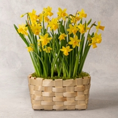 Flowering Narcissi Basket